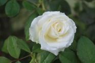 潔白玫瑰花朵圖片