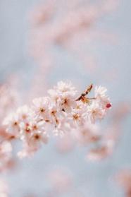 粉色淡雅櫻花圖片攝影