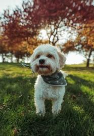 草地可愛白色狗狗圖片